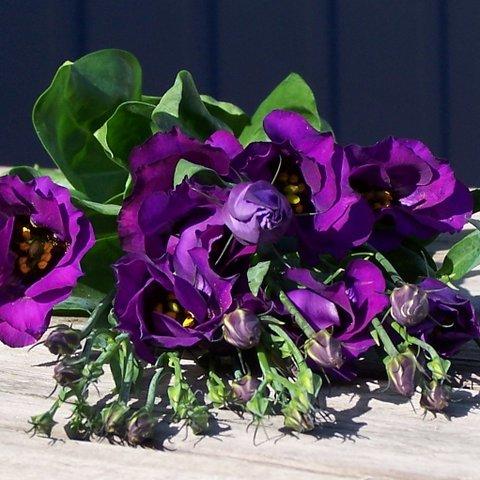 colorado-deep-purple