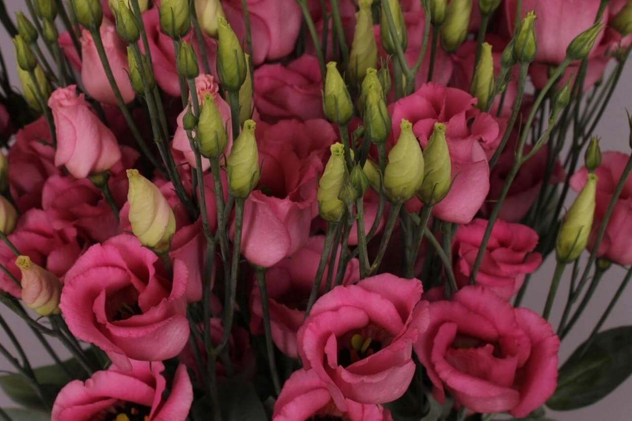 piccolo-rose-2