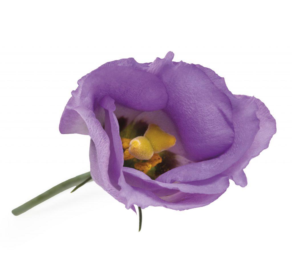 Piccolo-Lavendel-1024x922
