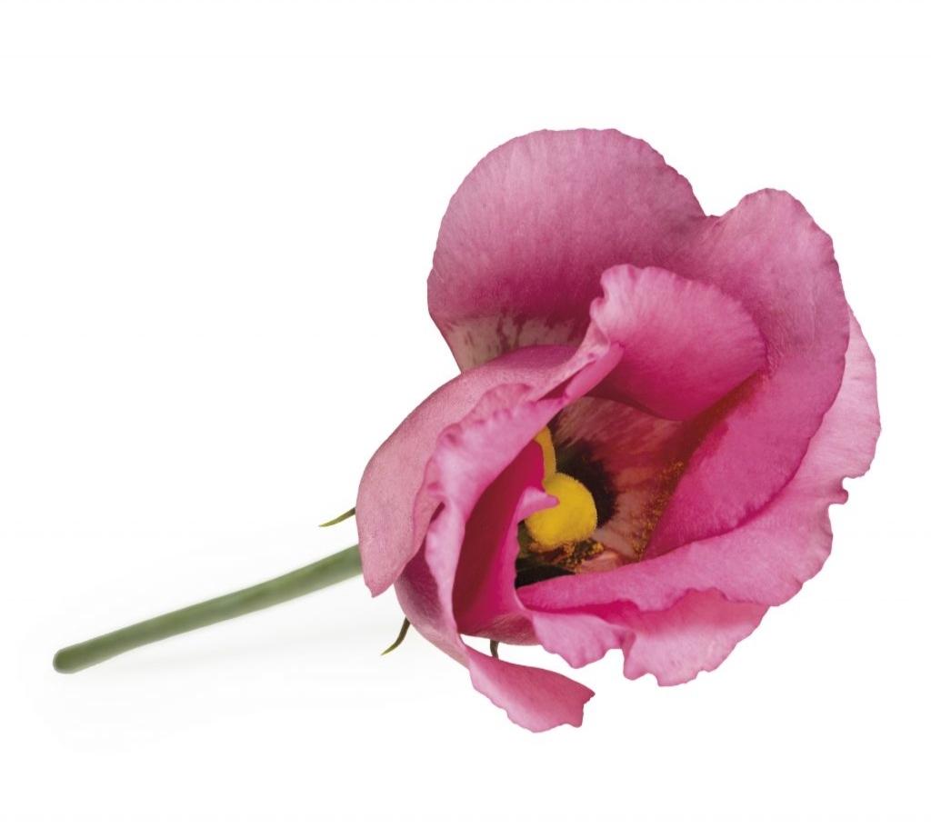 Piccolo-Rose-1024x922